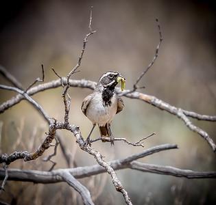 PR RV - Black-throated Sparrow with Larva