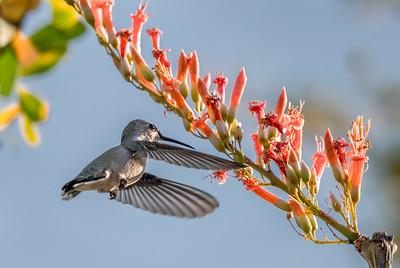 PR RV -  Hummingbird at Ocotillo Blossom #1