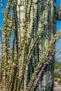 PR RV - Ocotillo and Saguaro #2