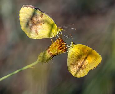 PR RV - Sleepy Sulphur Butterflies on Sweetbush