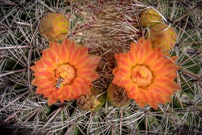 PR RV -  Barrel Cactus Flower and Bee