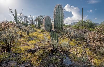 PR RV - Broken Saguaro with New Growth