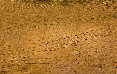 Turtle Tracks , San Pedro River #3