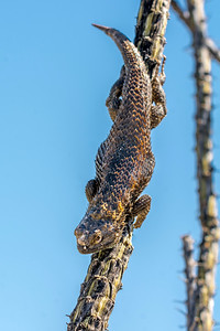 BR - Desert Spiny Lizard on Ocotillo #2