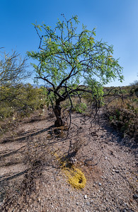BR - Mesquite Tree and Harvester Ant Hole with Palo Verde Flowers