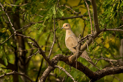 BR - Mourning Dove in Mesquite Tree