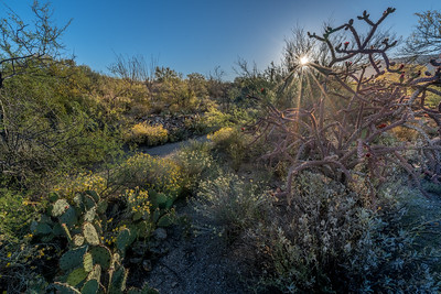 BR - Sunburst With Staghorn Cholla and Other Plants