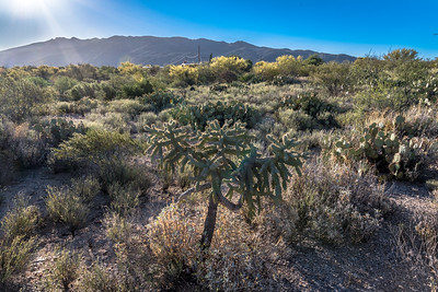 BR - Baklit Cholla at Dawn #2