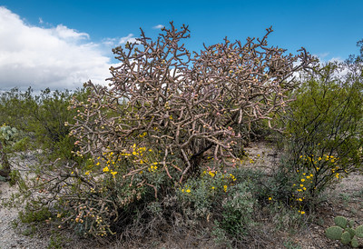 BR - Bike Ranch Site -  Staghorn Cholla & Brittlebush #2