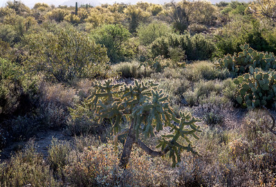 BR - Baklit Cholla at Dawn #1