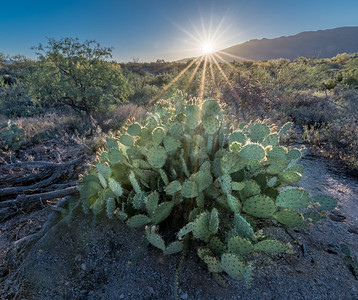 BR - Sunburst and Prickly Pear Cactus