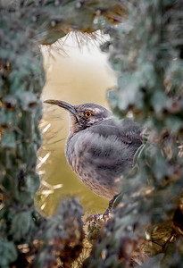 Curved-billled Thrasher Framed by Cholla Cactus