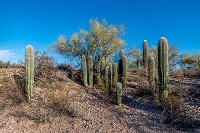 Small Saguaros Large Group #1