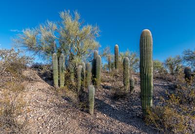 Small Saguaros, Large Group #2