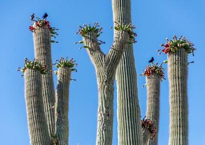 RWG I-11 Purple Martins on Saguaro Cactus #3