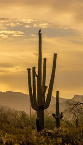 I-11 - Harris's Hawk on Saguaro #2