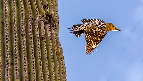 Gila Woodpecker Flies from Nest Hole #2