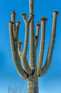 Big Saguaro and Martins #1