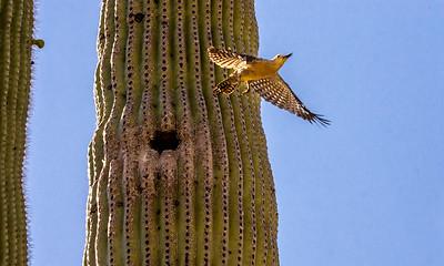 Gila Woodpecker Flies from Nest Hole #4