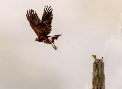 Harris's Hawk Flying From Saguaro #1