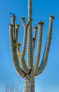 RWG I-11 Purple Martins on Saguaro Cactus #2