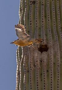 Gila Woodpecker Flies from Nest Hole #1