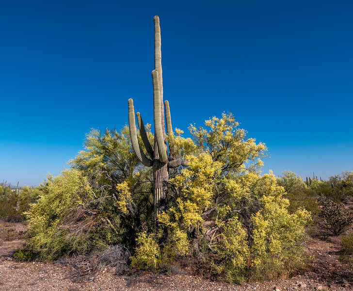 I-11 - Saguaro and Nurse Tree #2