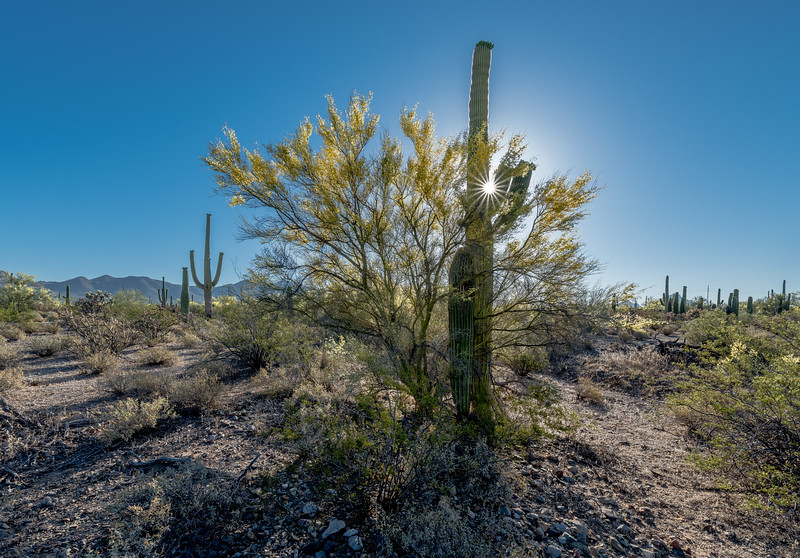 I-11 - Saguaro and Nurse Tree #1 with Sunburst