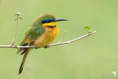 Little Bee-eater in Samburu