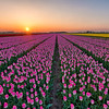 Tulip fields on Goeree-Overflakkee, the southernmost delta island of the province of South Holland