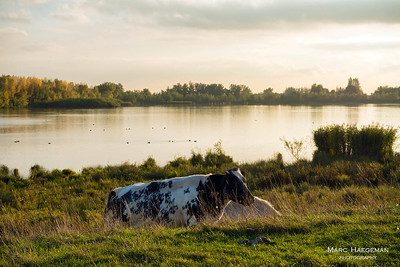 Cows in the Biesbosch