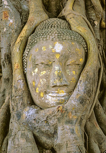 Buddha Head and  Banyan Tree Roots