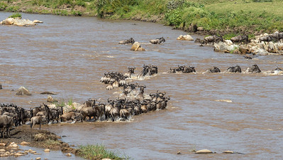 The mighty Mara current makes the crossing tough for the wildebeest