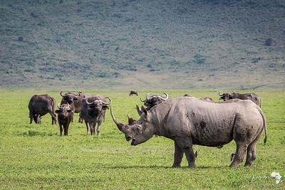 Black Rhino taking it easy