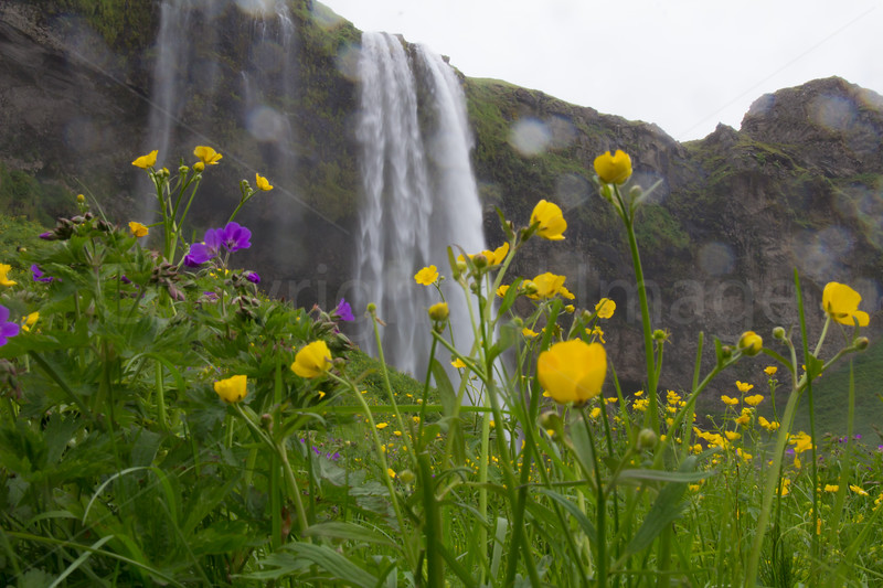 Seljalandsfoss through the flowers