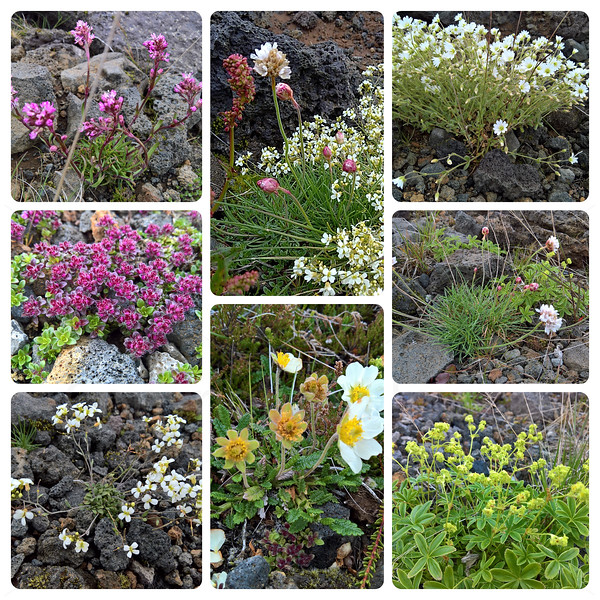 Flowers of Iceland