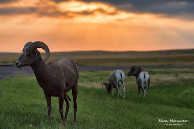 Bighorn rams at dawn