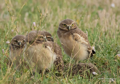 Burrowing owl chicks waiting for their meal