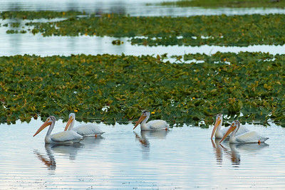 Pelicans on Heron Pond