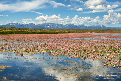 Lily pads color the reservoirs near Walden red, northern Colorado