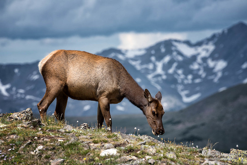 Elk in the tundra