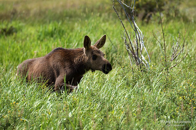 A moose calf in Kawuneeche Valley