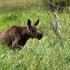 A moose calf in Kawuneeche Valley