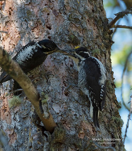 Three-toed woodpeckers - heroes of the Black Hills