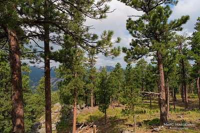 Ponderosa pines near Iron Mountain Road