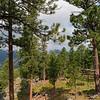 Ponderosa pines near Iron Mountain Road