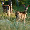 Young white-tailed deer in Custer State Park
