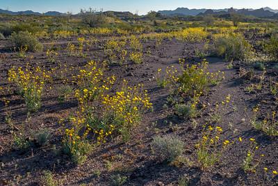 Desert Sunflowers #4