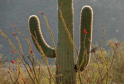 Saguaro, Ocotillo, and Thrasher