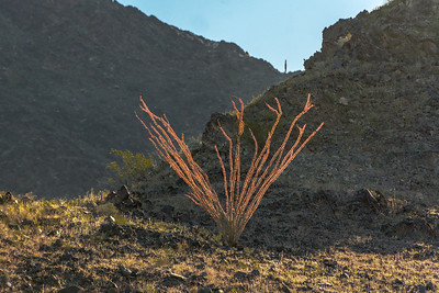Ocotillo With Red Leaves #1